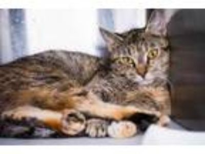 Adopt *TIGER a Brown or Chocolate (Mostly) Domestic Shorthair / Mixed (short