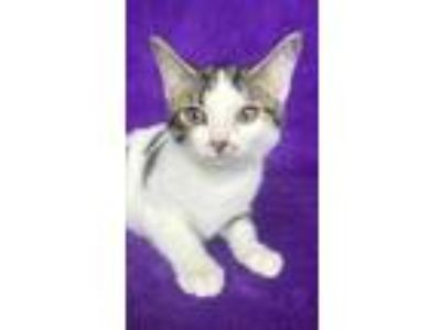 Adopt Cherry a Brown or Chocolate Domestic Shorthair / Domestic Shorthair /