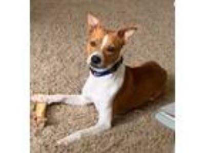 Adopt Jessamy a Brown/Chocolate - with White Jack Russell Terrier / Basenji /