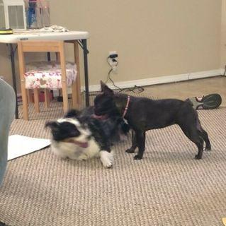 French Bulldog PUPPY FOR SALE ADN-70870 - AKC French Bulldog