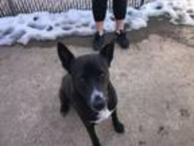 Adopt Onyx a Black - with White Pit Bull Terrier / German Shepherd Dog / Mixed