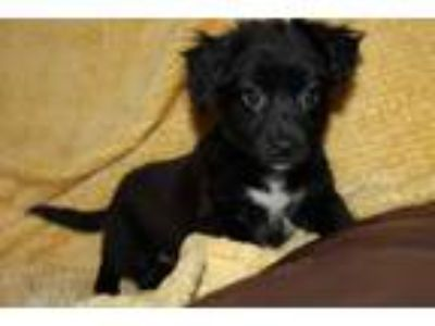 Adopt Archie a Black - with White Spaniel (Unknown Type) / Jack Russell Terrier