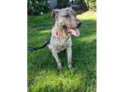 Adopt ENZO a Brindle Catahoula Leopard Dog / American Pit Bull Terrier / Mixed