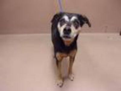 Adopt Ginjy a Retriever, Cattle Dog