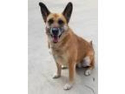 Adopt Heidi a Tan/Yellow/Fawn - with Black Belgian Malinois / Mixed dog in