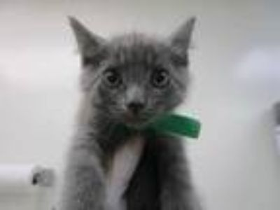Adopt Moo Moo a Gray or Blue Domestic Shorthair / Domestic Shorthair / Mixed cat