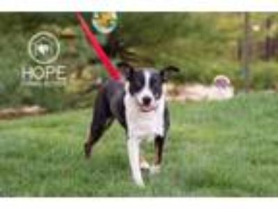 Adopt Harry a Cattle Dog