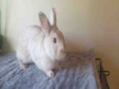Adopt PUFFY JAMES a Fawn Other/Unknown / Mixed rabbit in Fort Walton Beach