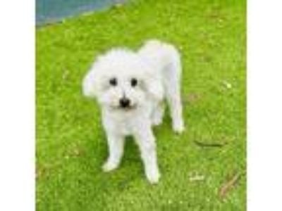Adopt Milli Vanilli a White - with Tan, Yellow or Fawn Poodle (Miniature) dog in
