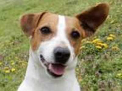 Adopt Bunny 5860 a Jack Russell Terrier, Mixed Breed