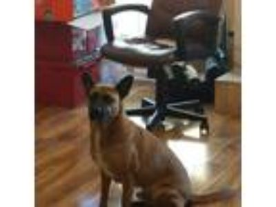 Adopt Loki a Brown/Chocolate - with Black Boxer / German Shepherd Dog / Mixed