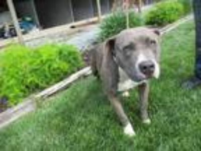 Adopt SOPHIA a Staffordshire Bull Terrier / Mixed dog in Lindsay, CA (25328563)