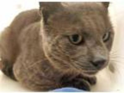 Adopt Trevor a Gray or Blue Domestic Shorthair / Domestic Shorthair / Mixed cat