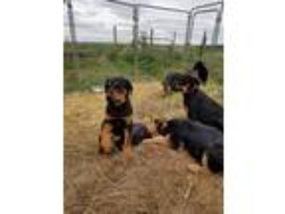 Adopt ERIC a Tricolor (Tan/Brown & Black & White) Airedale Terrier / Labrador