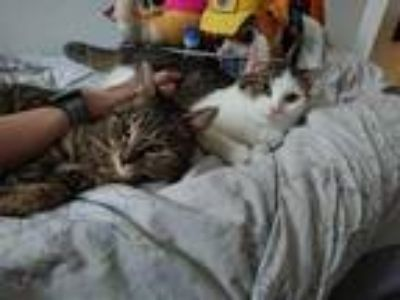 Adopt Purrfect Pals Mr. Tulip and Sage a White (Mostly) Domestic Shorthair /