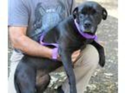 Adopt Kristy available 6/7/19 a Black Shar Pei / Terrier (Unknown Type
