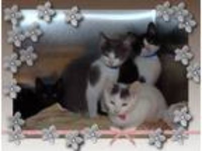 Adopt SHELLY BRUCE FRANK DIXIE a Gray or Blue (Mostly) Domestic Shorthair (short
