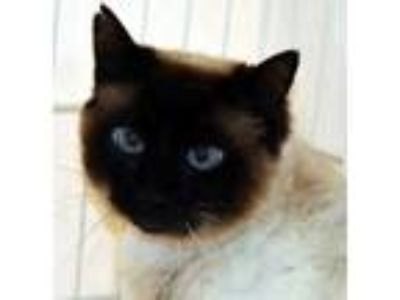 Adopt Eleanor a Cream or Ivory Siamese / Domestic Shorthair / Mixed (short coat)