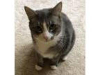 Adopt BoBo a Gray or Blue (Mostly) Manx / Mixed (short coat) cat in Roxboro