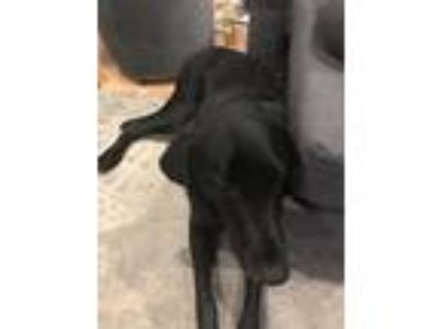 Adopt Louie a Black Labrador Retriever dog in Glendale Heights, IL (25638930)