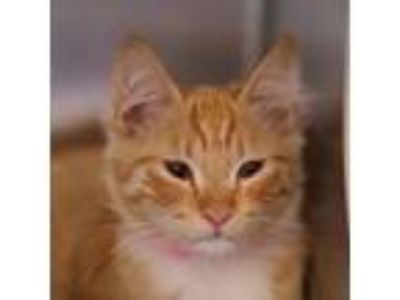 Adopt *MILEY a Orange or Red (Mostly) Domestic Shorthair / Mixed (short coat)