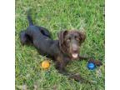 Adopt Ronin a German Wirehaired Pointer