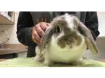 Adopt Capicola a White Lop, Holland / Other/Unknown / Mixed rabbit in Boulder