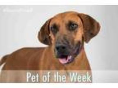 Adopt CLARENCE a Redbone Coonhound, Mixed Breed