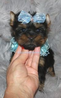 Yorkshire Terrier PUPPY FOR SALE ADN-52504 - HANDSOME TINY TOY MALE YORKIE