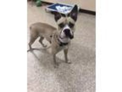 Adopt Lil Gal a Boxer, American Staffordshire Terrier