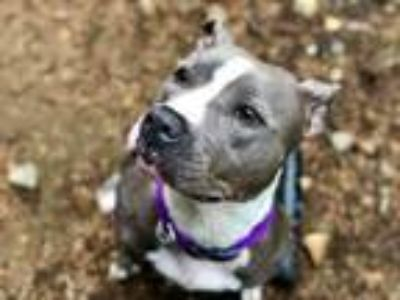 Adopt Flower a American Staffordshire Terrier