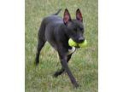Adopt Dante a Black - with White Bull Terrier / Mixed dog in Ridgefield