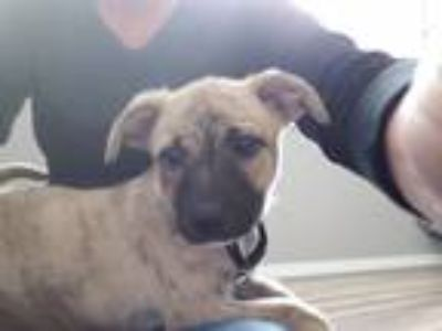 Adopt Koda a Tan/Yellow/Fawn - with Black Black Mouth Cur / Mixed dog in