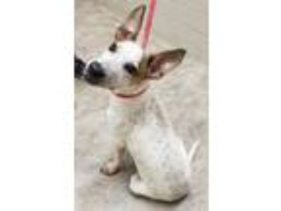 Adopt Beano a White Jack Russell Terrier / Australian Cattle Dog / Mixed dog in