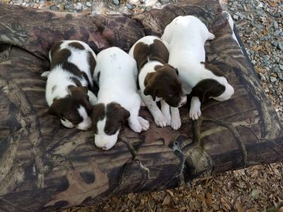 Championship German Shorthair pointers