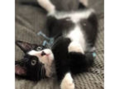 Adopt Percy a Domestic Short Hair
