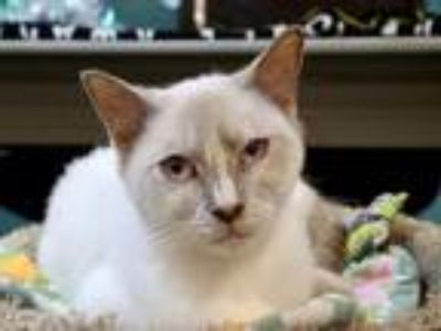 Adopt Tida a Tonkinese / Mixed cat in Virginia Beach, VA (25312786)
