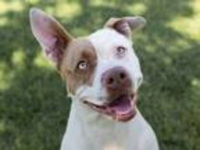 Adopt Nora a White - with Brown or Chocolate Pit Bull Terrier / Mixed dog in