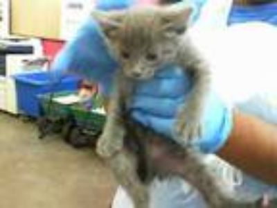 Adopt LUCY a Russian Blue
