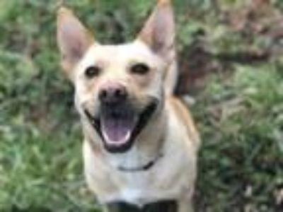 Adopt Bear a Carolina Dog