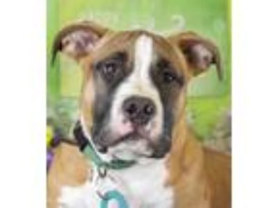 Adopt Crush (ID 22293/1085) a Basset Hound, Pit Bull Terrier