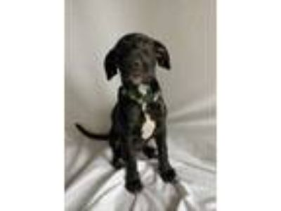 Adopt Inky a Black Labrador Retriever / Mixed dog in Fort Collins, CO (25862866)