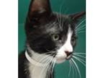 Adopt Zazubean a Domestic Shorthair / Mixed (short coat) cat in Novato