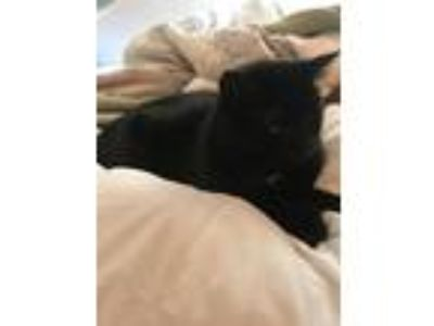 Adopt Zooey a Black (Mostly) American Shorthair / Mixed cat in Chicago