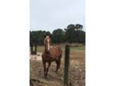 Adopt Solo a Chestnut/Sorrel Other/Unknown horse in Cumming, GA (25504248)