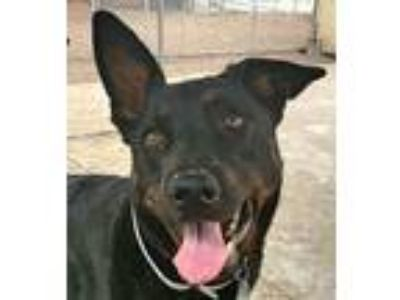 Adopt Ace a Black - with Tan, Yellow or Fawn Dutch Shepherd / Mixed dog in