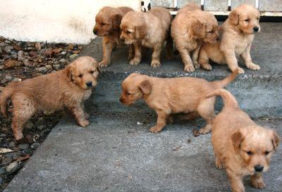 Golden Retriever PUPPY FOR SALE ADN-104651 - Golden Retriever Puppies