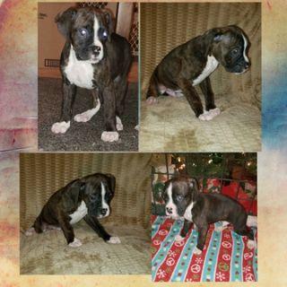 Boxer PUPPY FOR SALE ADN-111620 - Astro