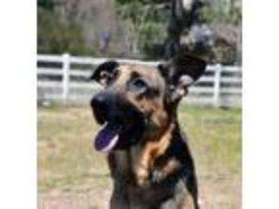 Adopt Gunner a German Shepherd Dog, Mixed Breed