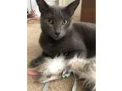 Adopt Kitty a Gray or Blue Russian Blue cat in Oakland, CA (25852147)